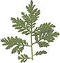 Leaves of the sweet wormwood shrub